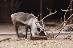 Large male reindeer Kuvituskuvat