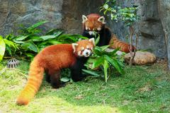 Two cute red pandas eating bamboo Stock Photos