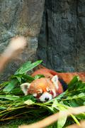 Cute red panda laying down Stock Photos