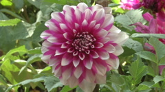A Fully Bloomed Dahlia Stock Footage