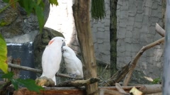 Stock Video Footage of Pair of White Cockatoo on the Tree in Love