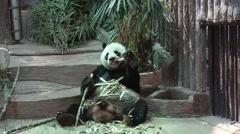 Panda Bear Eating Bamboo in Zoo Stock Footage