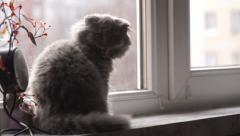 The small gray Scottish Fold breed cat sitting on the windowsill Stock Footage
