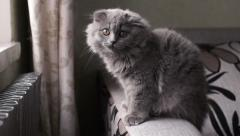 The small gray Scottish Fold breed cat sitting  on the couch Stock Footage