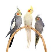 Three cockatiel perching Stock Photos