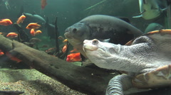 Long Neck Turtle Swimming Underwater Stock Footage