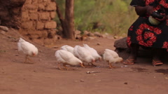 6 chicks eating chicken feed in Africa Stock Footage