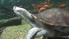 Long Neck Turtle Swimming Underwater - stock footage