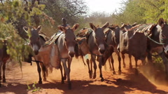 Maasai family herding donkeys carrying the village water supply Stock Footage