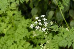 Angelica acutiloba flowers - stock photo