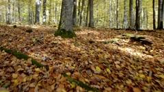 Steadycam walking in autumn forest, Fall season walking Stock Footage