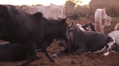 Herd of cows belonging to the Maasai Mara in Tanzania Stock Footage