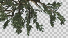 Stock Video Footage of Cedar of Lebanon Branches Turned Image Tree is Swaying at The Wind Green Tree