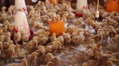 African lady tending to chicks in hatchery Stock Footage