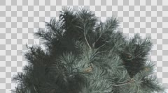 Blue Spruce Top of Crown Tree is Swaying at The Wind Blue Green Tree Leaves Are Stock Footage