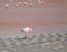 Stock Photo of Single flamingo feeding at a lake in Bolivia