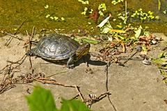 Stock Photo of Turtle on the concrete abandoned bank