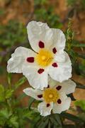 White Flowers Rockrose - stock photo