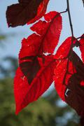 Stock Photo of Red leaves backlit