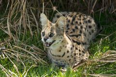 Serval Leptailurus serval age 2 years captive - stock photo