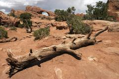 Skyline Arch dead bristlecone pine Pinus aristata in front Arches National Park Stock Photos
