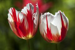 Red and white tulips Tulipa sp Germany Europe - stock photo