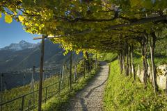 Hiking trail through the vineyards Scena near Merano Trentino Province Province - stock photo