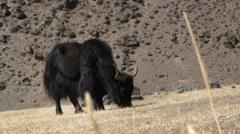 Yaks Graze On The Mountain Pasture Stock Footage