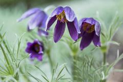 Pasque flower (Pulsatilla vulgaris). Also known as pasqueflower, common pasqu Stock Photos