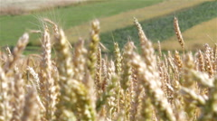 summer wheat - stock footage