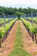 Beautiful rows of grapes Stock Photos