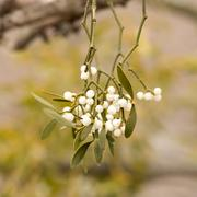 Mistletoe white berries - Viscum album - stock photo