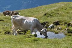 A cow drinking from a little pond in the Austrian Alps - stock photo