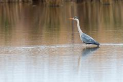 Gray heron i Stock Photos