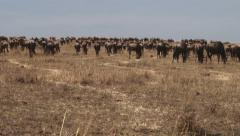 A group of wildebeests going back to serengeti from mara Stock Footage