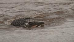 A crocodle swimming with a kill in the mouth Stock Footage