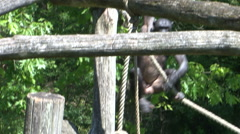 Bonobo monkeys climbing in the zoo Stock Footage