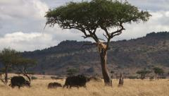 A lion climbs a tree to eascape attacking buffaloes - stock footage