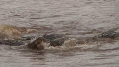 Crocodiles fight for a kill Stock Footage