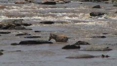 A baby zebra decides to turn back in a crossing Stock Footage