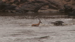 A thompson gazelle tries to cross mara river but is cought midstream Stock Footage