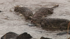 Crocodiles share the last of a gazelle Stock Footage