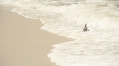 African penguin in the waves. Stock Footage
