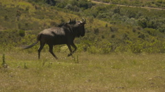 Wildebeest running at a Game Reserve in South Africa. Stock Footage