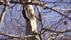 Hairy Woodpecker on tree branch cleaning nest Stock Footage