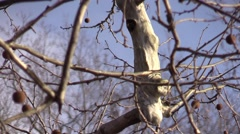Hairy Woodpecker cleaning nest flies away slow motion - stock footage