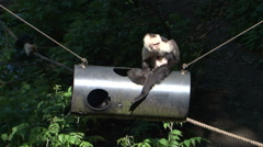 Monkeys playing on pipe toy  Stock Footage