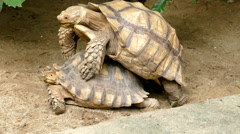 Tortoises mating Stock Footage