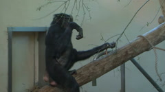 Bonobo monkeys  indoor climbing in the zoo Stock Footage