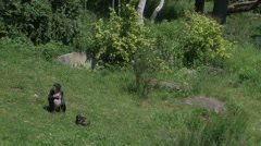 Bonobo family in green enviroment baby playing Stock Footage